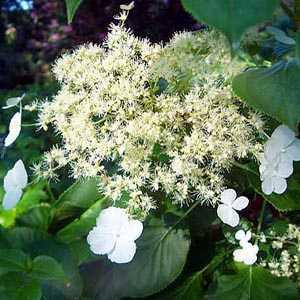 Hydrangea Anomala Petiolaris (Climbing Hydrangea)