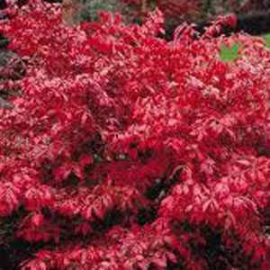 Euonymus Alatus (Burning Bush)
