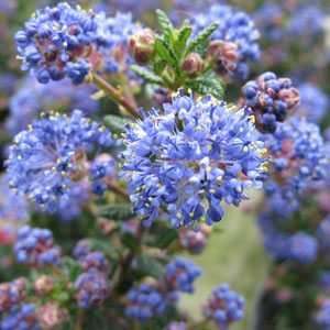 Ceanothus Puget Blue (Californian Lilac) 1.2mtr 10Ltr Pot