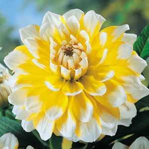 Dahlia Decorative Bulbs Seattle 1 Per Pack