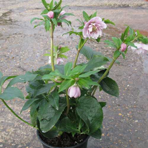 Helleborus Orientalis Phoebe (Lenten Rose)