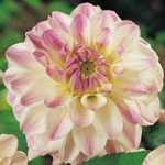 Dahlia Decorative Bulbs Wittem 1 Per Pack