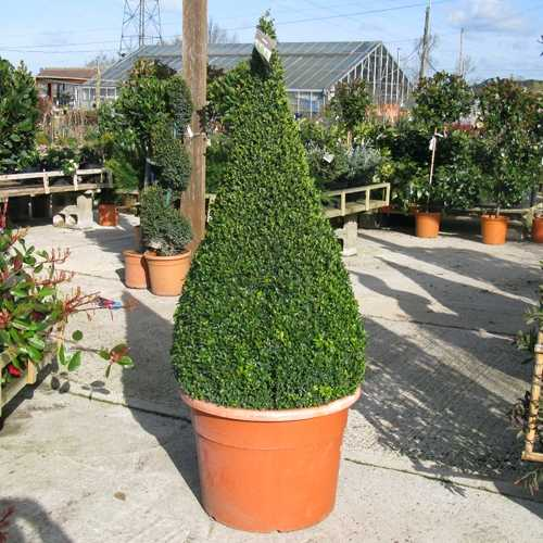 Buxus Sempervirens Pyramid/Cone (Box Hedge/Topiary Plant) 190cm