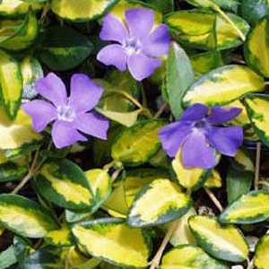 Vinca minor 'Illumination' (Periwinkle) 3Ltr