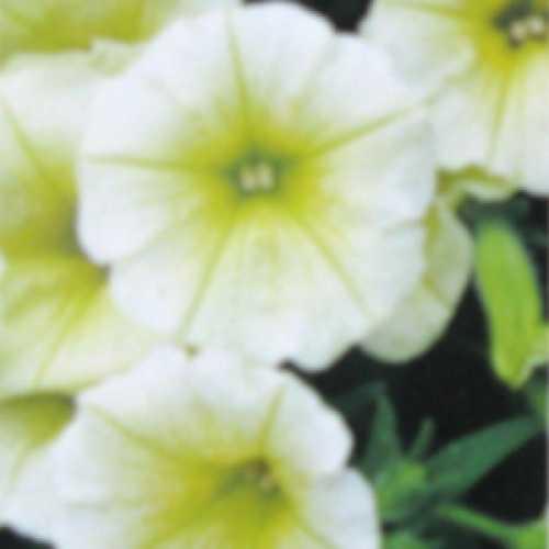 Petunia Yellow 10 Per Pack