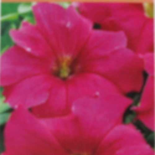 Petunia Deep Rose 10 Per Box