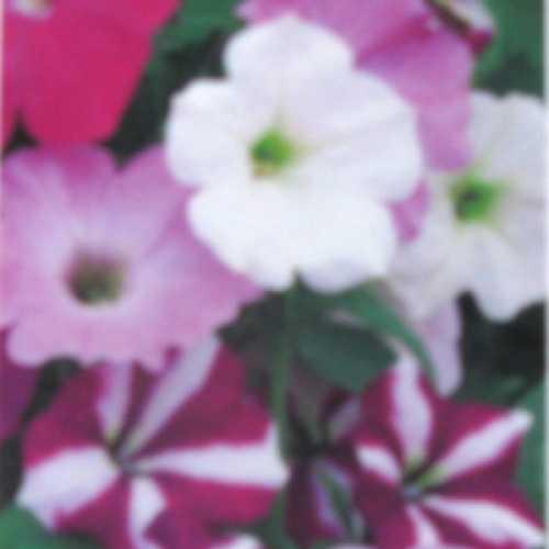 Petunia Express Mixed 10 Per Box