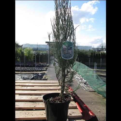 Juniperus Scopulorum Skyrocket  Juniper Skyrocket