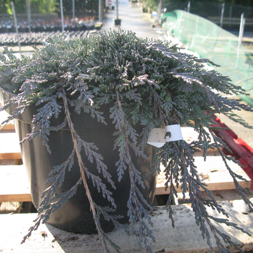 Juniperus (Juniper)  Horizontalis Icee Blue