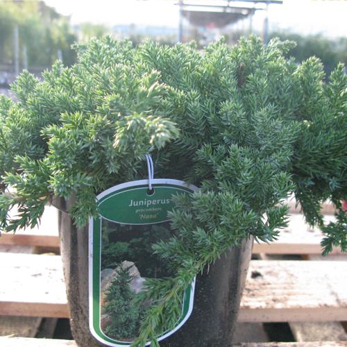 Juniperus Procumbens Nana (Dwarf Juniper)
