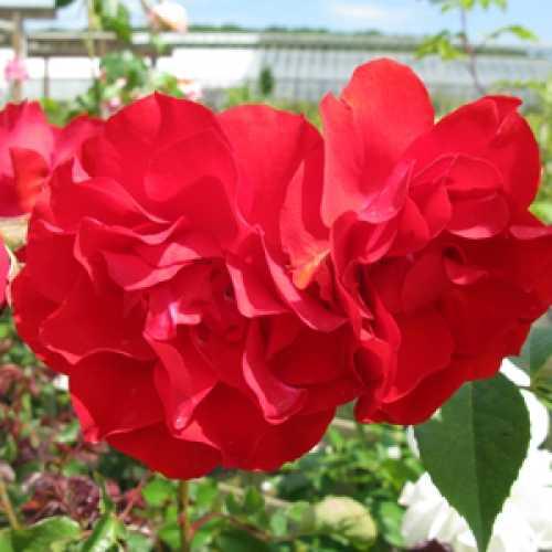 Rose Bush Hybrid Tea Kind Regards 4Ltr