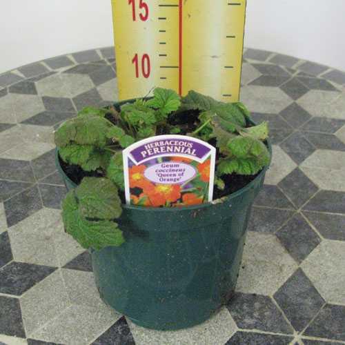 Geum Coccineus Queen of Orange ( Herbaceous Perennial) 1ltr