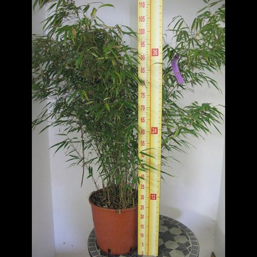 Fargesia Murielae Rufa Fountain Bamboo 10Ltr