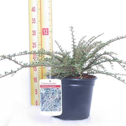 Cotoneaster Atropurpureus 'Variegatus' 3Ltr