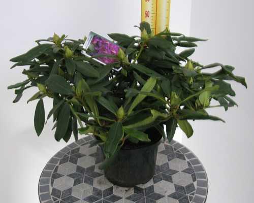 Rhododendron Hybrid Marcel Menard 5 Ltr