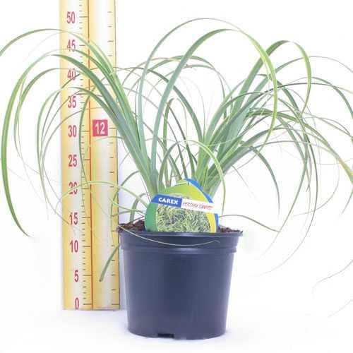 Carex 'Rekohu Sunrise' 3Ltr