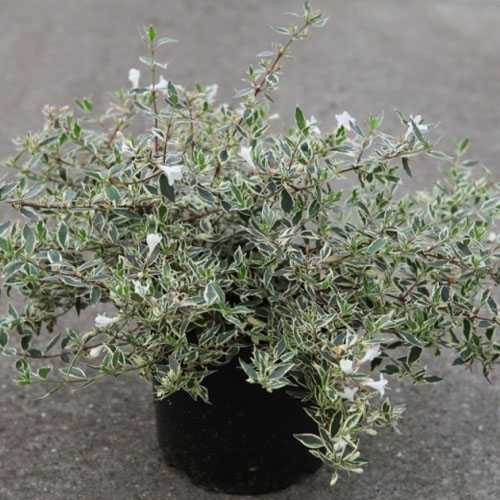 buy abelia online   order abelia online   abelia shrubs for sale