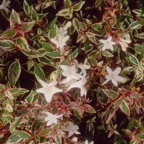 Abelia Grandiflora 'Confetti'
