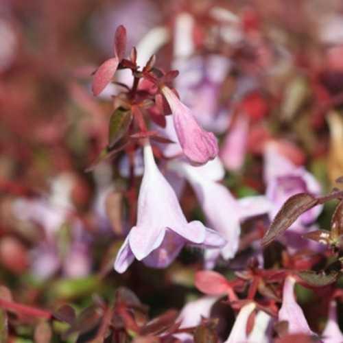 Abelia Grandiflora 'Pinky Bells'