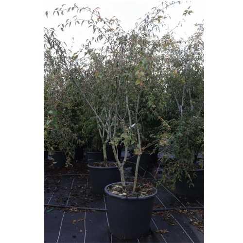 Acer Davidii 'Serpentine' 175cm-200cm 70Ltr