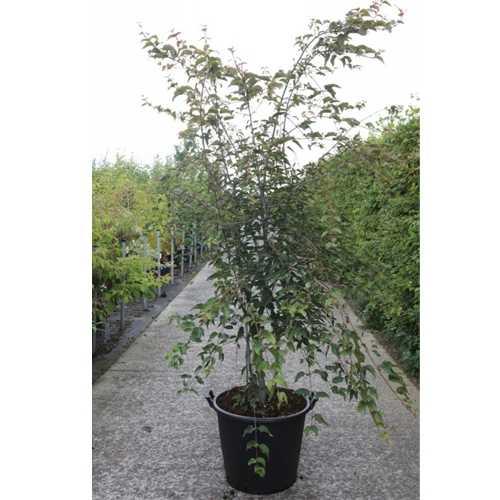 Acer Davidii 'Serpentine' 175cm-200cm 50Ltr