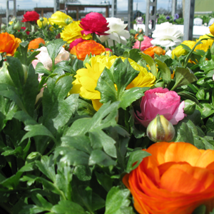 Ranunculus Peony Flowering Mixed Colours 1Ltr