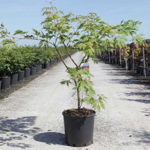 Acer Japonicum 'Aconitifolium' (Japanese Maple)