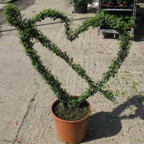 Ligustrum Heart And Arrow (Cupids Arrow) Topiary 80cm Height