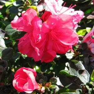 Azalea Japonica Moederdag (Japanese Azalea Mother's Day)