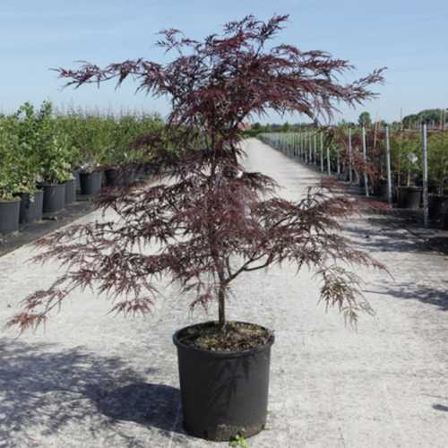 Acer Palmatum Dissectum Garnet Japanese Maple