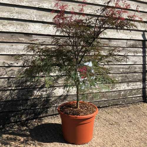 Acer Palmatum 'Dissectum Garnet' Japanese Maple