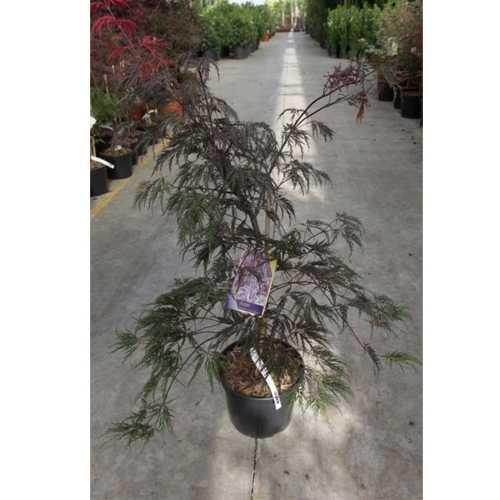 Acer Palmatum 'Inaba-Shidare' Japanese Maple