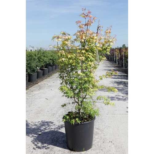 Acer Palmatum 'Katsura' Japanese Maple
