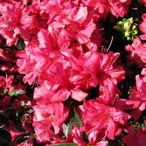 Azalea Japonica Madame Galle 3 Ltr