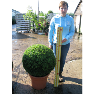 Buxus Sempervirens Ball (Box Hedge Ball/Topiary Ball) 65cm Set of 3
