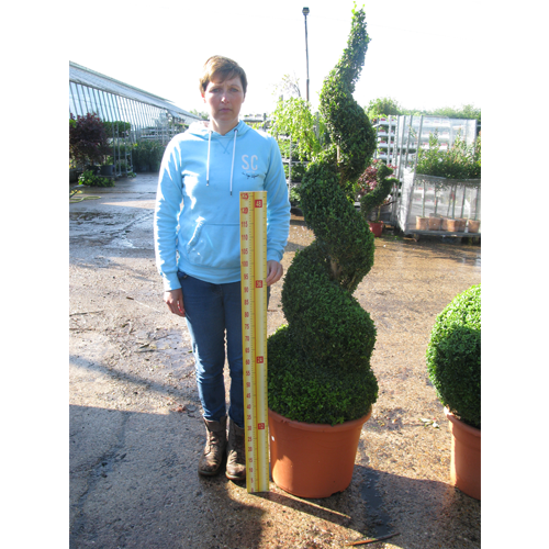 Buxus Sempervirens Spiral (Box Hedge) 2mtr