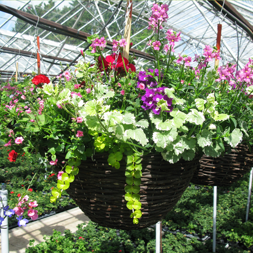 Summer Planted Mixed Wicker Hanging Baskets 16 inch