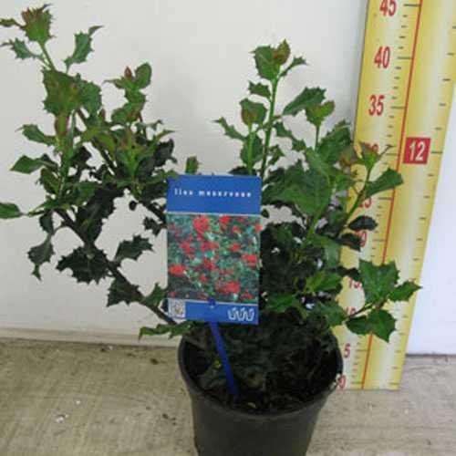 Ilex Meservae (Blue Holly) 2ltr