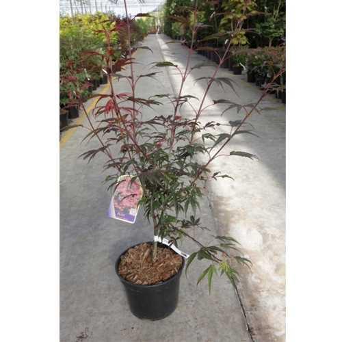 Acer Palmatum 'Shaina' Japanese Maple