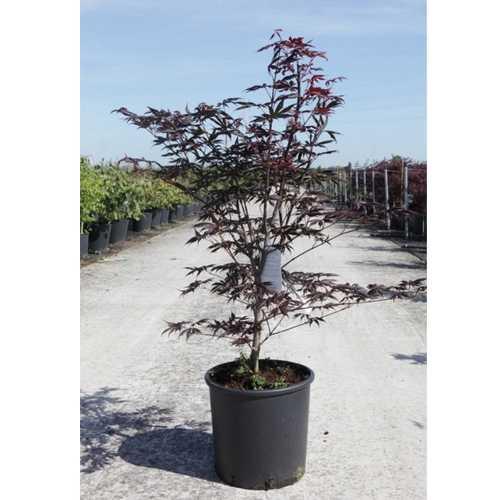 Acer Palmatum 'Trompenburg' Japanese Maple