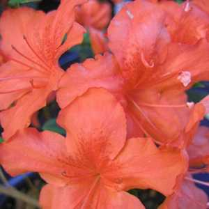 Azalea Japonica Geisha Orange