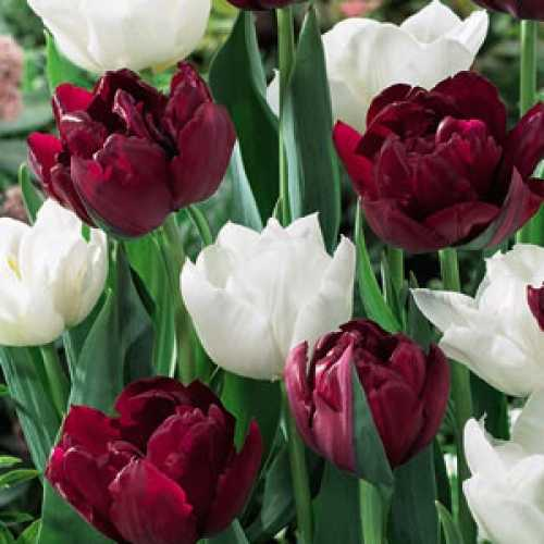 Tulip Bulbs Double Late Double Finesse 25 Per Pack