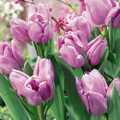 Tulip Bulbs Triumph Alibi 10 Per Pack