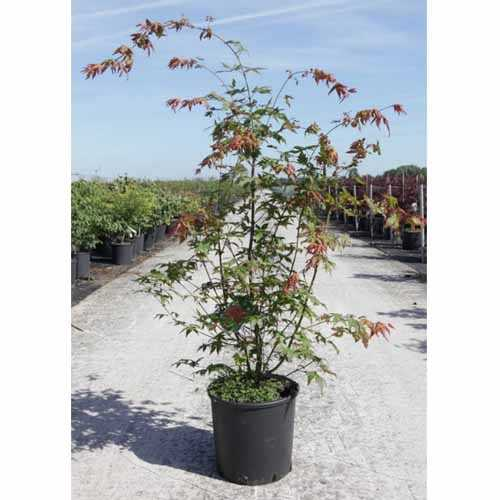 Acer Palmatum Japanese Maple