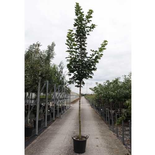 Acer Palmatum 'Cleveland' Japanese Maple
