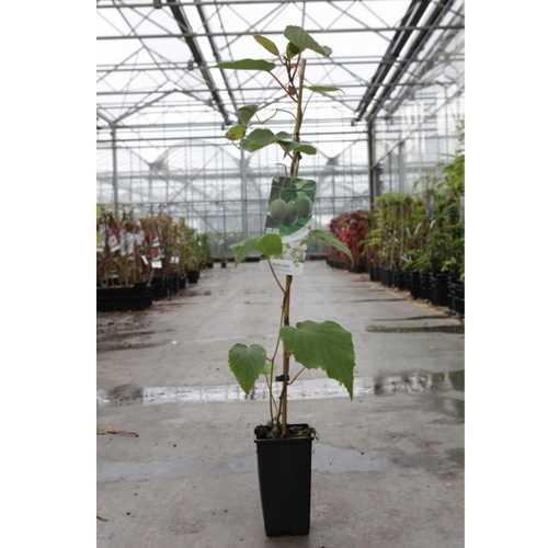 Actinidia Deliciosa 'Hayward' (Female) Kiwi Plant