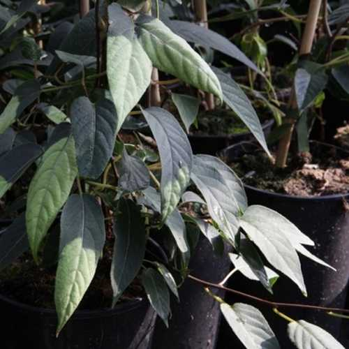 Actinidia Tetramera 'Maloides' Kiwi