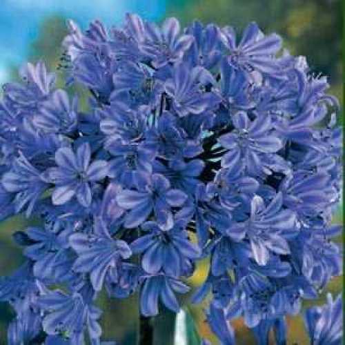 Agapanthus 'Umbellatus Azureum (Blue)