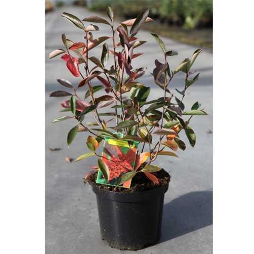 cheap aronia melancarpa hugin buy aronia plants online. Black Bedroom Furniture Sets. Home Design Ideas