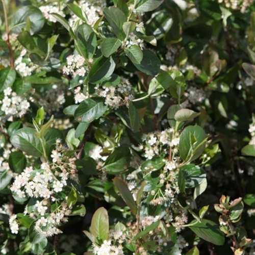 Aronia Prunifolia 'Viking' Chokeberry